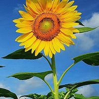 sunflower-advertisement-1.jpg