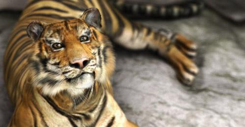 tiger zoo maya