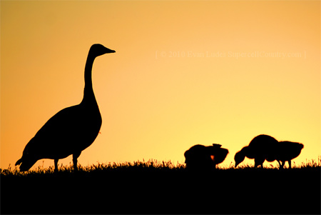 Silhouette Photos - Tend to the Gaggle