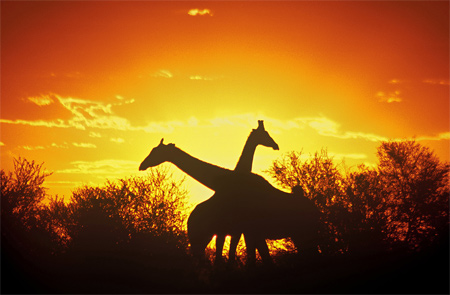 Silhouette Photos - Silhouette of Two Giraffes