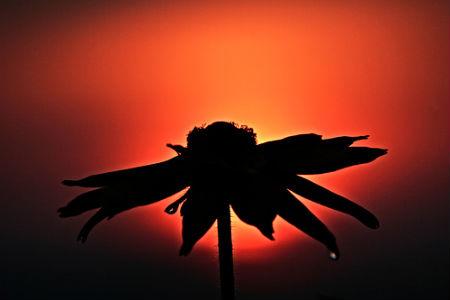 Silhouette Photos - Flower Silhouette