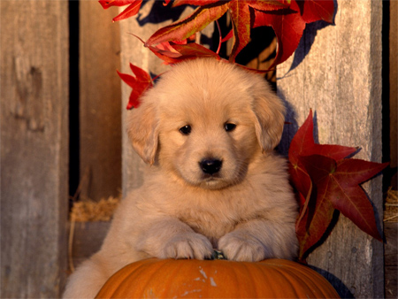 Halloween - Golden Retriever Puppy
