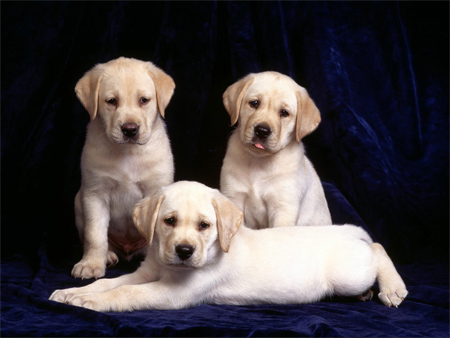 Three Cute Labrador Puppies