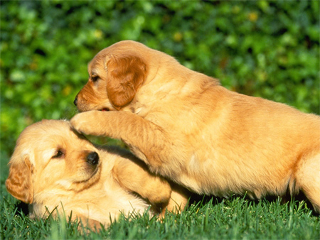 Golden Retriever Puppies Playing