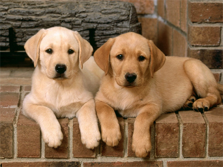 Double Trouble Labrador Retrievers