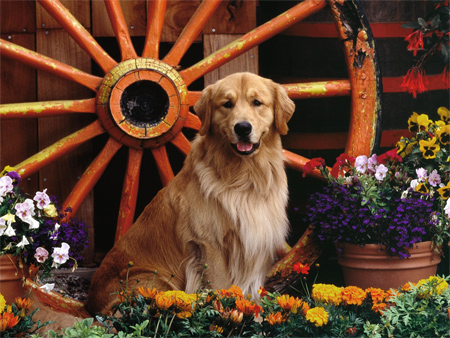 Golden Retriever Garden