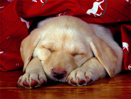 A Yellow Labrador Puppy Taking a Nap