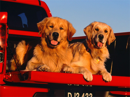 Golden Retriever Trucking