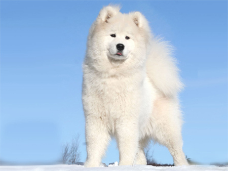 North Greenland Dog