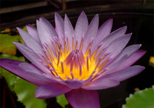 lotus-beautiful flower