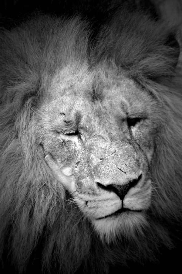 """""""Black and White Lion"""" 