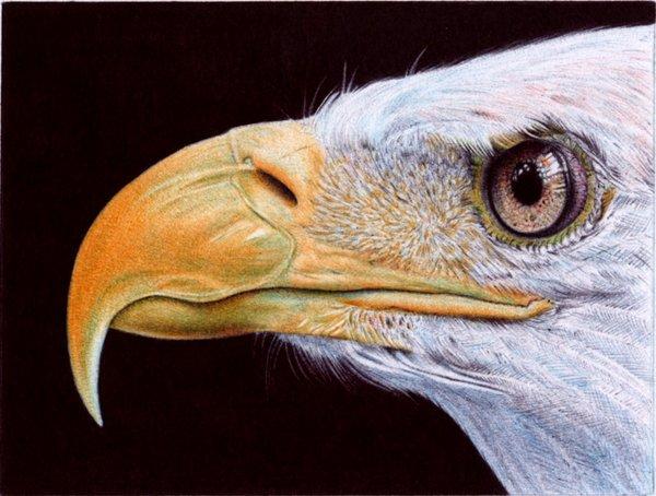 """Bald Eagle"" - Ballpoint Pen Artwork by Samuel Silva"