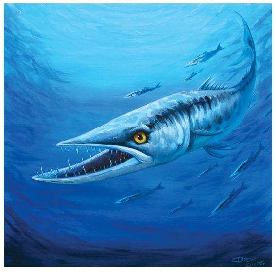 """Barracuda"" | (c) Drew Brophy"