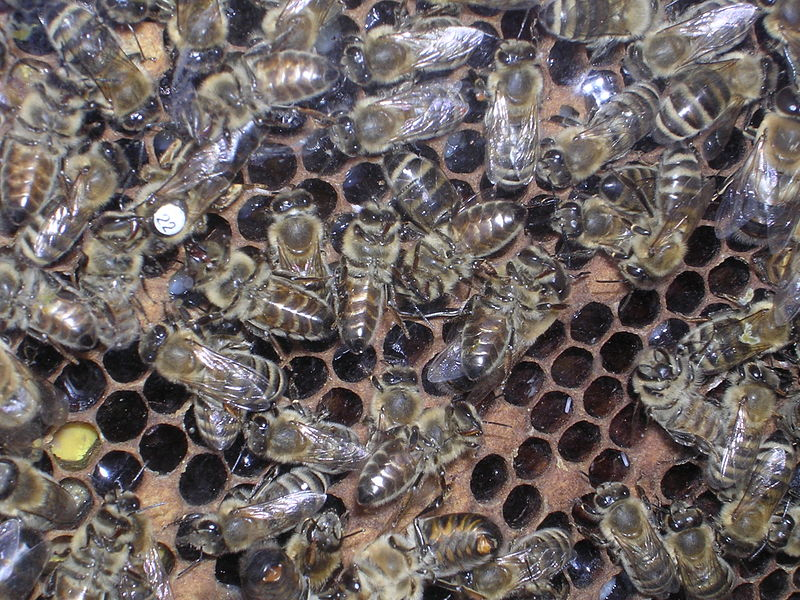 Hive by Chiswick Chap via commons.wikimedia.org