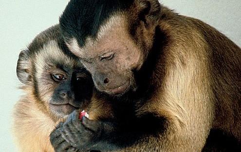 Capuchin Monkeys Sharing by Frans de Waal