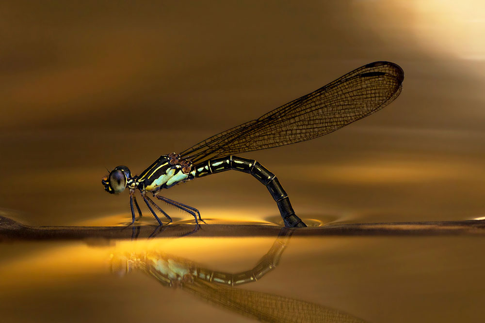 A-female-lays-egg-in-the-golden-lake-by-Theofilus-Irwan