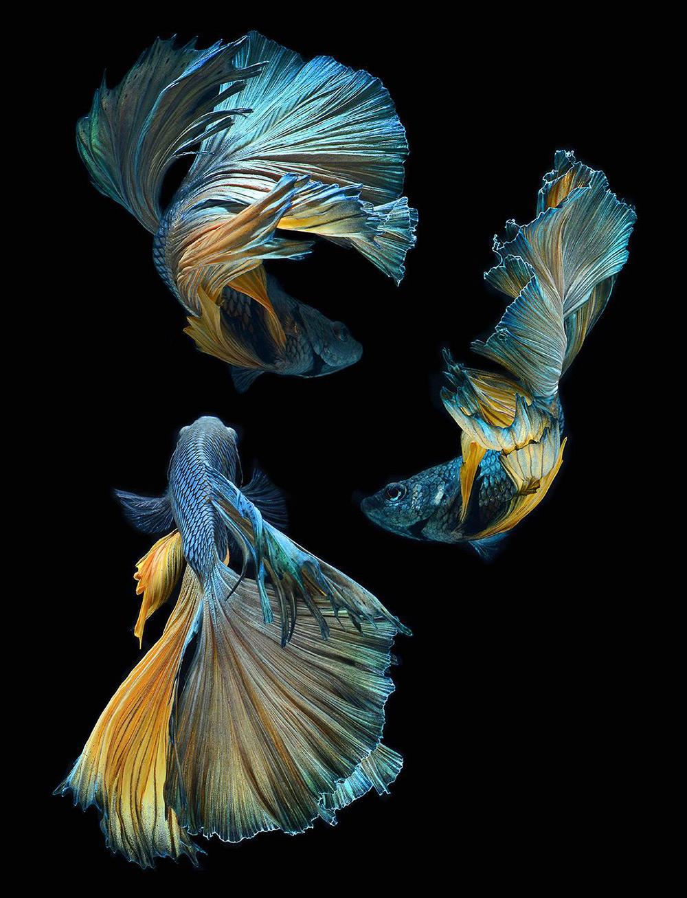 Portraits-Animals-Siamese-Fighting-Fish-Visarute-Angkatavanich-A