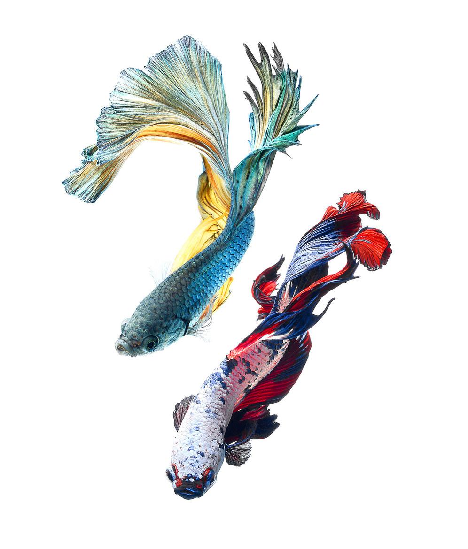 Portraits-Animals-Siamese-Fighting-Fish-Visarute-Angkatavanich-B