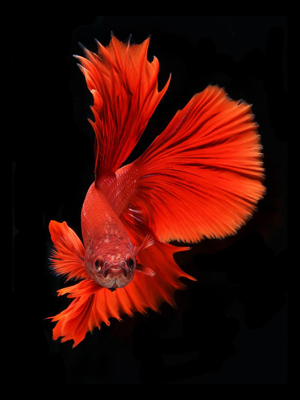 Portraits-Animals-Siamese-Fighting-Fish-Visarute-Angkatavanich-D