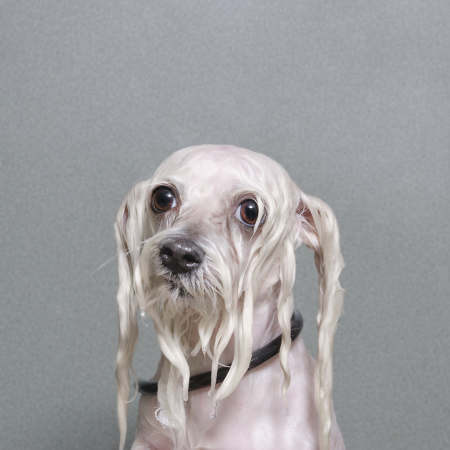 Portraits-Animals-Wet-Dogs-Sophie-Gamand-Buddy