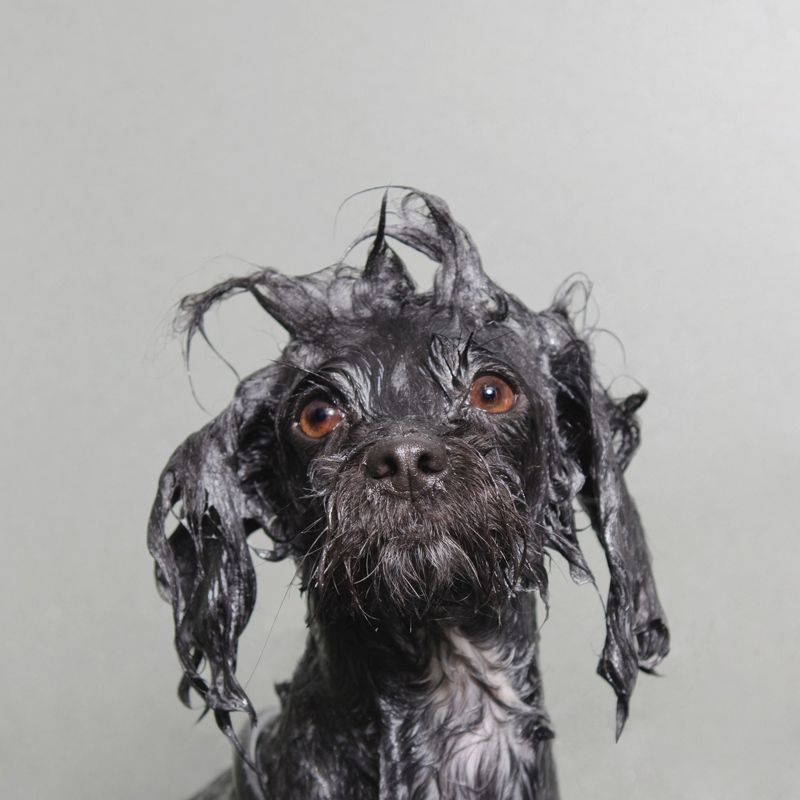 Portraits-Animals-Wet-Dogs-Sophie-Gamand-Coco
