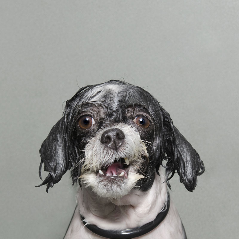 Portraits-Animals-Wet-Dogs-Sophie-Gamand-Nicole