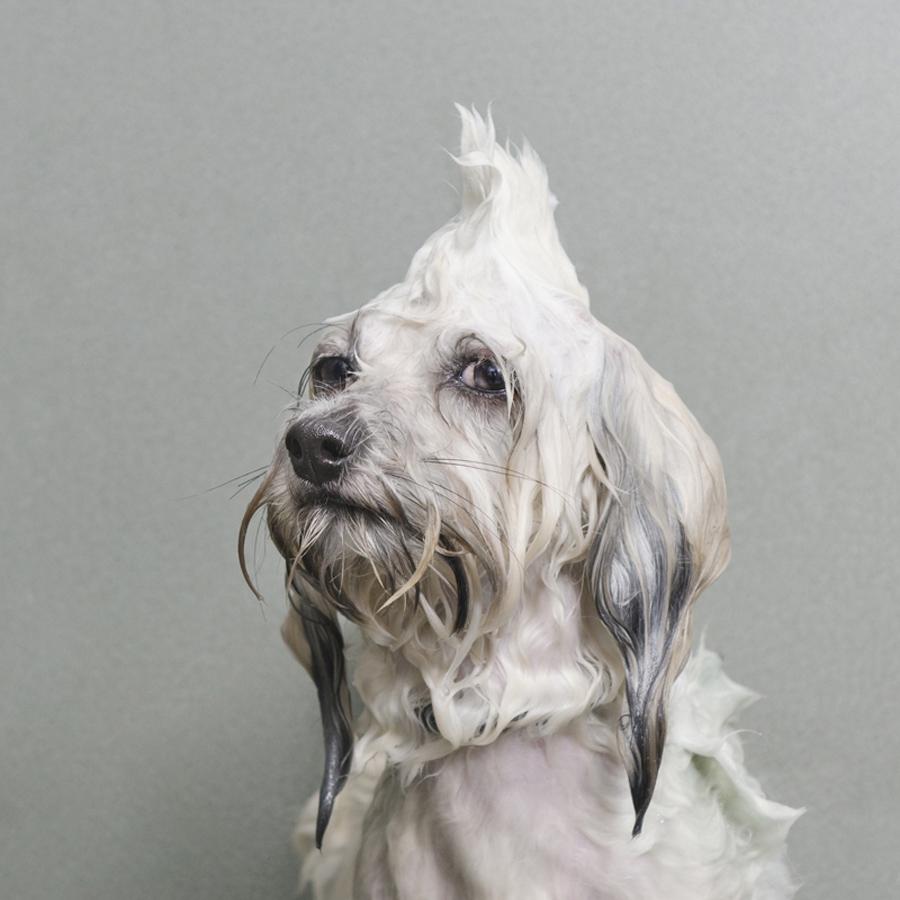 Portraits-Animals-Wet-Dogs-Sophie-Gamand-Oscar
