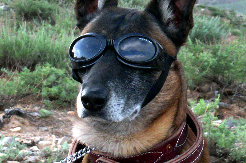 800px-German_Sheppard_w_doggles