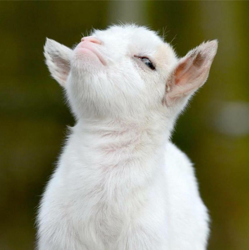 Smug goat